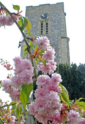 Cherry blossom and church tower in Spring.